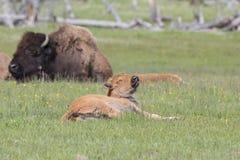 Заново принесенная икра буйвола в траве Стоковые Изображения