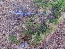 Заново сломанная ветвь ели с конусами Стоковая Фотография RF