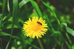 Занятая пчела на летний день стоковая фотография rf