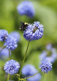 Занятая пчела на весенний день Стоковая Фотография RF