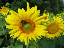 Занятая пчела на солнцецвете Стоковая Фотография RF