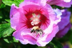 Занятая пчела Стоковые Фото