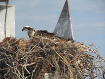 Занятое гнездо скопы стоковое изображение