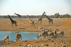 Занятое waterhole в Etosha с жирафом и Kudu Стоковая Фотография