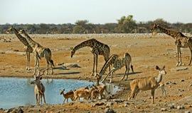 Занятое waterhole в Etosha с жирафом, прыгуном и Kudu Стоковое Фото