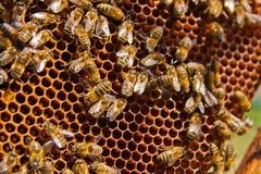 Занятые пчелы, конец вверх по взгляду работая пчел на соте Стоковые Изображения