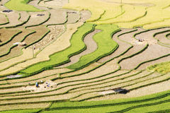 Занятый день на террасных полях Стоковое Фото