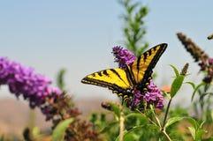 Западная бабочка rutulus Swallowtail Papilio тигра на бабочке Буше Стоковое Изображение RF