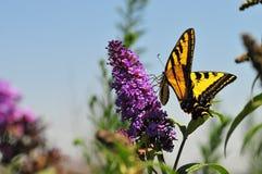 Западная бабочка rutulus Swallowtail Papilio тигра подавая на бабочке Буше Стоковое фото RF
