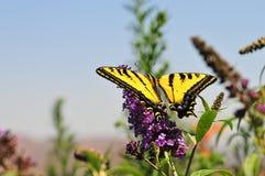 Западная бабочка rutulus Swallowtail Papilio тигра подавая на бабочке Буше Стоковые Изображения