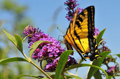 Западная бабочка rutulus Swallowtail Papilio тигра подавая на бабочке Буше Стоковая Фотография RF