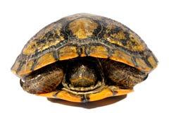 Западная черепаха цыпленка Стоковые Изображения