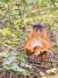 западное обезьяны colobus красное унылое Стоковое фото RF