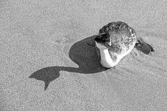 Западные поганковые и тень на пляже в Вентуре Калифорния Соединенных Штатах - черно-белых стоковая фотография