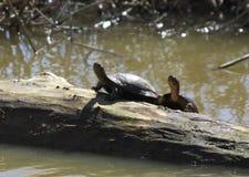 Западные черепахи пруда на журнале Стоковая Фотография RF