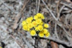 Западный австралийский желтый цвет Everlastings Wildflower Стоковая Фотография RF