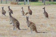 Западный серый кенгуру, fuliginosus Macropus Стоковое Фото