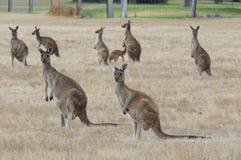 Западный серый кенгуру, fuliginosus Macropus Стоковое фото RF