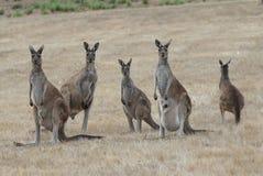 Западный серый кенгуру, fuliginosus Macropus Стоковая Фотография