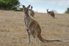 Западный серый кенгуру, fuliginosus Macropus Стоковое Изображение RF