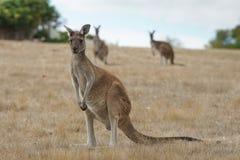 Западный серый кенгуру, fuliginosus Macropus Стоковые Изображения