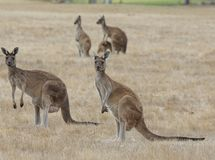 Западный серый кенгуру, fuliginosus Macropus Стоковые Фотографии RF
