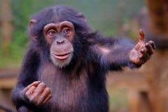 Западный шимпанзе в Сьерра-Леоне Стоковые Изображения RF