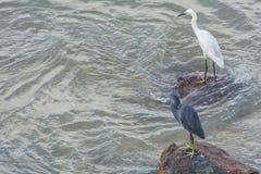 Западный egret рифа и маленький Egret стоковые изображения