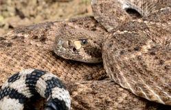 Западный Rattlesnake с ромбовидным рисунком на спине. Стоковые Изображения