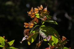 Запас биосферы бабочки монарха (Мексика) Стоковые Фото