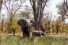 Запас игры Moremi африканского слона, перепад Okawango стоковая фотография rf