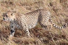 Запас Кения Африка Mara Masai гепарда Стоковые Изображения
