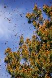запас монарха Мексики бабочки биосферы стоковая фотография rf