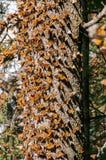 запас монарха Мексики бабочки биосферы Стоковое Изображение RF