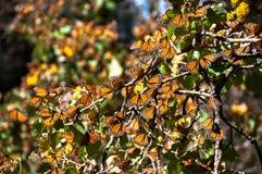 запас монарха Мексики бабочки биосферы стоковое фото
