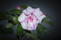 Запас Розы пустыни Obesum Adenium! стоковые фотографии rf