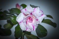 Запас Розы пустыни Obesum Adenium! Стоковые Фото