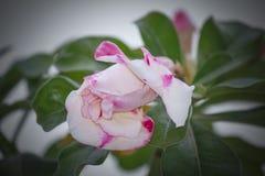 Запас Розы пустыни Obesum Adenium! стоковая фотография rf