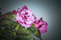 Запас Розы пустыни Obesum Adenium! Стоковое Фото