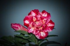 Запас Розы пустыни Obesum Adenium! стоковое изображение rf