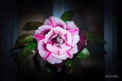 Запас Розы пустыни Obesum Adenium! стоковая фотография