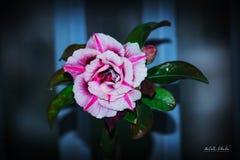 Запас Розы пустыни Obesum Adenium! стоковое фото rf
