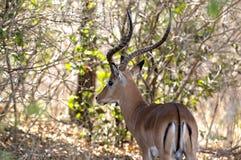 запас selous Танзания impala игры Стоковые Изображения