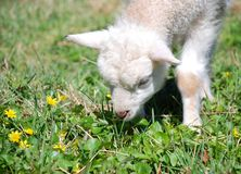 запах овечки Стоковое Фото