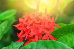 Запачкайте Ixora для предпосылки, красный цвет цветка шипа с в природой с светлым заходом солнца Общее coccinea Ixora имени, Rubi Стоковое Изображение
