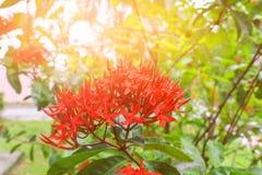 Запачкайте Ixora для предпосылки, красный цвет цветка шипа с в природой с светлым заходом солнца Общее coccinea Ixora имени, Rubi Стоковые Изображения