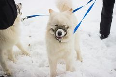 запачкайте pinscher движения смешивания собак собаки чихуахуа пирамиды из камней breed миниатюрный играя идущий малый terrier сне Стоковая Фотография RF