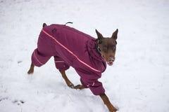 запачкайте pinscher движения смешивания собак собаки чихуахуа пирамиды из камней breed миниатюрный играя идущий малый terrier сне Стоковая Фотография