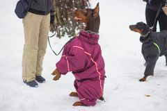 запачкайте pinscher движения смешивания собак собаки чихуахуа пирамиды из камней breed миниатюрный играя идущий малый terrier сне Стоковые Фотографии RF