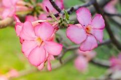 Запачканная азалия, мягкий фокус насмешки лилии Роза-импалы пустыни Стоковая Фотография